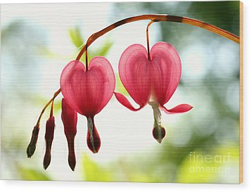 Backlight Bleeding Hearts Wood Print by Steve Augustin
