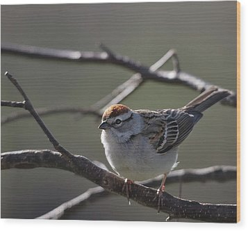Wood Print featuring the photograph Backlit Chipping Sparrow by Susan Capuano