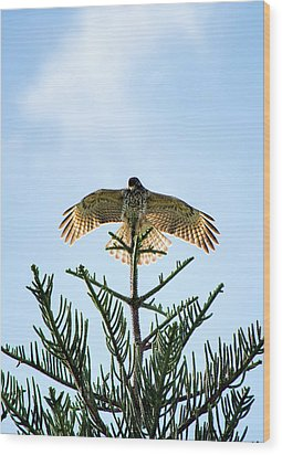 Backlit Landing Hawk Wood Print