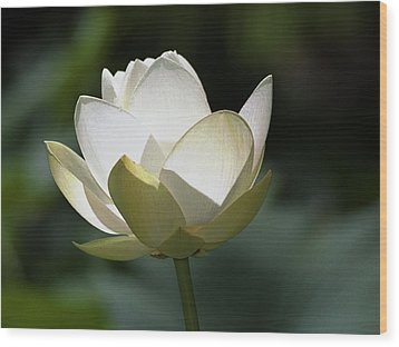 Backlit Lotus Wood Print by Barry Culling