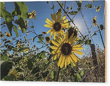 Wood Print featuring the photograph Backlit Sunflower 3 by Dave Dilli