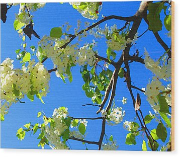 Backlit White Tree Blossoms Wood Print by Amy Vangsgard
