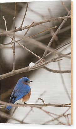 Backyard Bluebird Wood Print