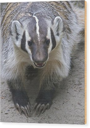 Badgered Badger Wood Print
