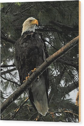 Wood Print featuring the photograph Bald Eagle by Glenn Gordon