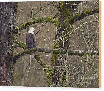 Bald Eagle On Mossy Branch Wood Print by Sharon Talson