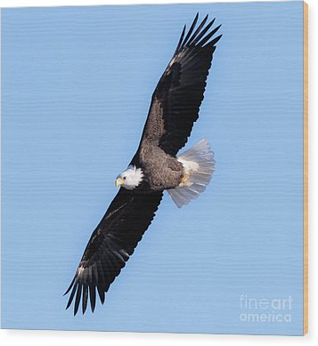 Bald Eagle Overhead  Wood Print by Ricky L Jones