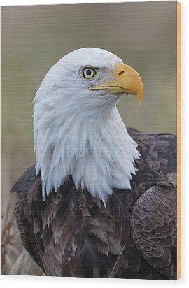 Wood Print featuring the photograph Bald Eagle Portrait 2 by Angie Vogel