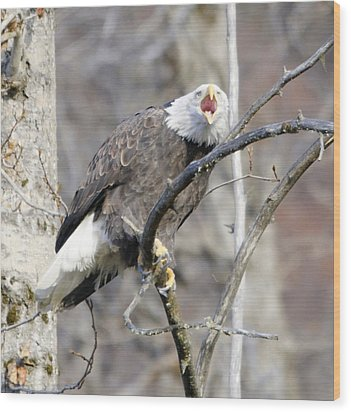 Bald Eagle Screeching Wood Print by Clarence Alford