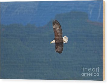 Wood Print featuring the photograph Bald Eagle Soaring  by Sharon Talson