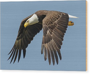 Bald Eagle In Flight Wood Print by Phil Stone