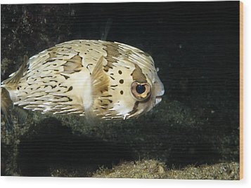 Balloonfish Profile Puffer Fish, Diodon Wood Print by James Forte