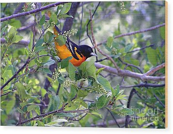 Baltimore Northern Oriole Wood Print by Susan  Dimitrakopoulos