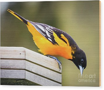 Wood Print featuring the photograph Baltimore Oriole About To Jump by Ricky L Jones