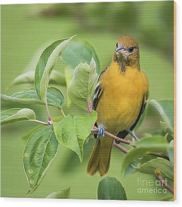 Wood Print featuring the photograph Baltimore Oriole Closeup by Ricky L Jones