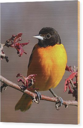 Baltimore Oriole II Wood Print