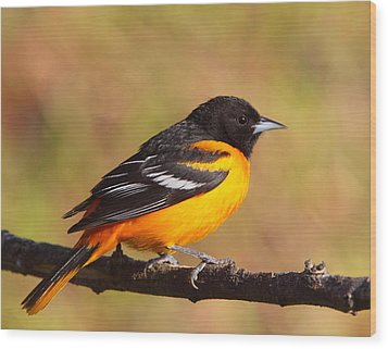 Baltimore Oriole IIi Wood Print
