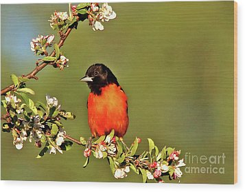 Baltimore Oriole Wood Print by James F Towne