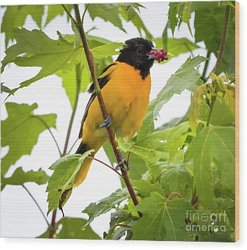 Wood Print featuring the photograph Baltimore Oriole With Raspberry  by Ricky L Jones