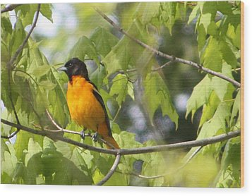 Baltimore Orioles  Wood Print by Nancy TeWinkel Lauren