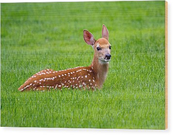 Bambi At Rest Wood Print by Timothy McIntyre