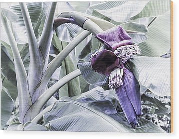 Wood Print featuring the photograph Banana Beginnings In Cool Shades by Kerri Ligatich