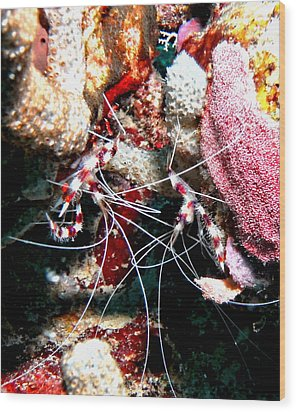 Wood Print featuring the photograph Banded Coral Shrimp - Caught In The Act by Amy McDaniel