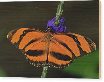 Banded Orange Butterfly Wood Print by JT Lewis