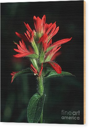 Banff - Indian Paintbrush 4 Wood Print by Terry Elniski