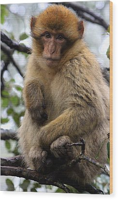 Wood Print featuring the photograph Barbary Ape by Ramona Johnston