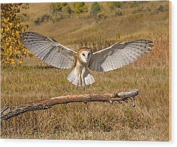 Barn Owl Landing Wood Print