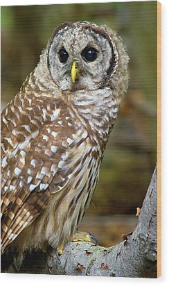 Wood Print featuring the photograph Barred Owl Juvie by Timothy McIntyre