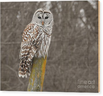 Barred Owl Wood Print by Kathy M Krause