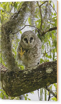 Barred Owlet High Four Wood Print by Phil Stone