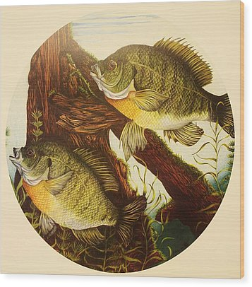 Wood Print featuring the drawing Basking Bluegills by Bruce Bley