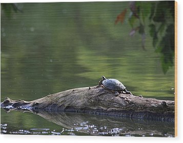 Wood Print featuring the photograph Basking Turtle by Lyle Hatch