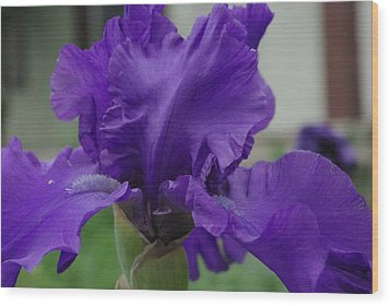 Bearded Blue Iris Wood Print