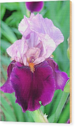 Bearded Iris In Violet Wood Print by Jame Hayes