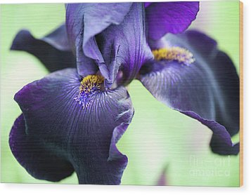 Bearded Iris Interpol Flower Wood Print by Tim Gainey