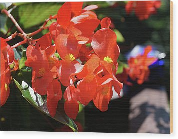 Beautiful Begonias Wood Print by Lynne Guimond Sabean