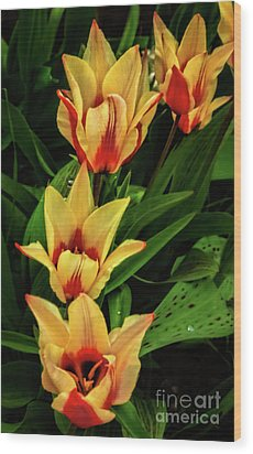 Wood Print featuring the photograph Beautiful Bicolor Tulips by Robert Bales