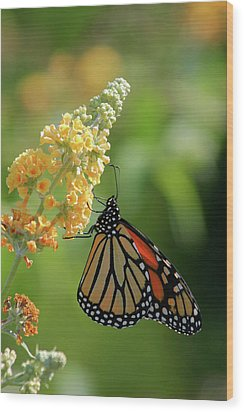 Beautiful Butterfly Wood Print by Karol Livote