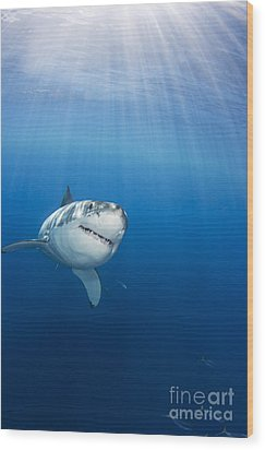 Beautiful Great White Wood Print by Dave Fleetham - Printscapes