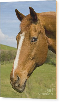 Beautiful Horse Portrait Wood Print by Meirion Matthias