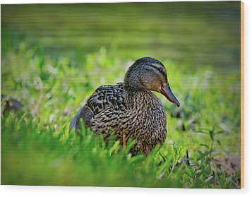 Wood Print featuring the photograph Beautiful Mama Duck by Linda Unger