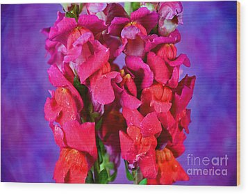 Beautiful Snapdragon Flowers Wood Print by Ray Shrewsberry