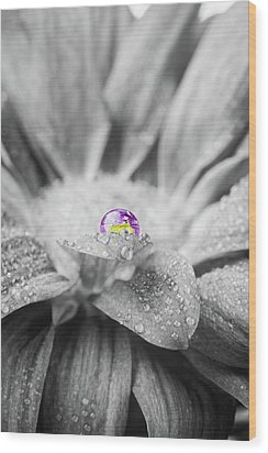 Beautiful Splash Of Purple On A Daisy In The Garden Wood Print