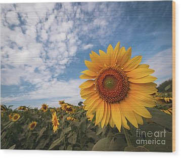 Wood Print featuring the photograph Beautiful Sunflower Plant In The Field, Thailand. by Tosporn Preede