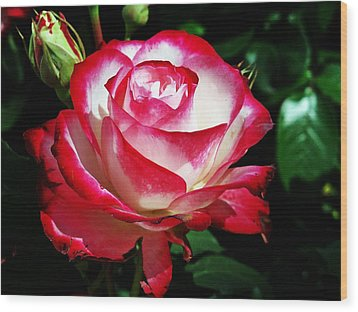 Wood Print featuring the photograph Beauty Rose by Joseph Frank Baraba