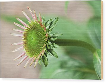 Becoming Echinacea - Wood Print